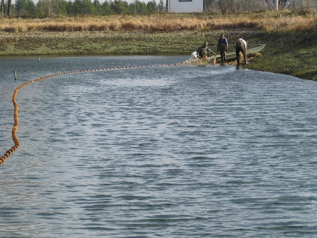 A fisheries crew nets young muskies from a hatchery pond prior to stocking in a lake.